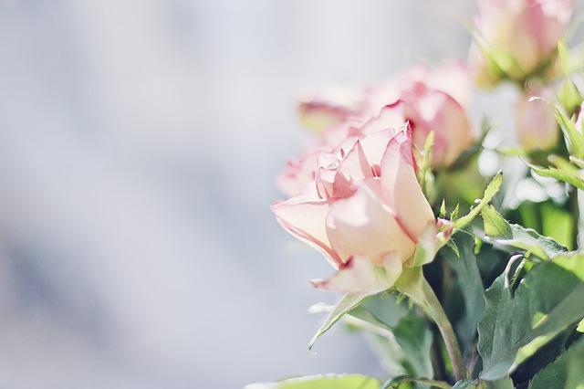 roses-604081_640
